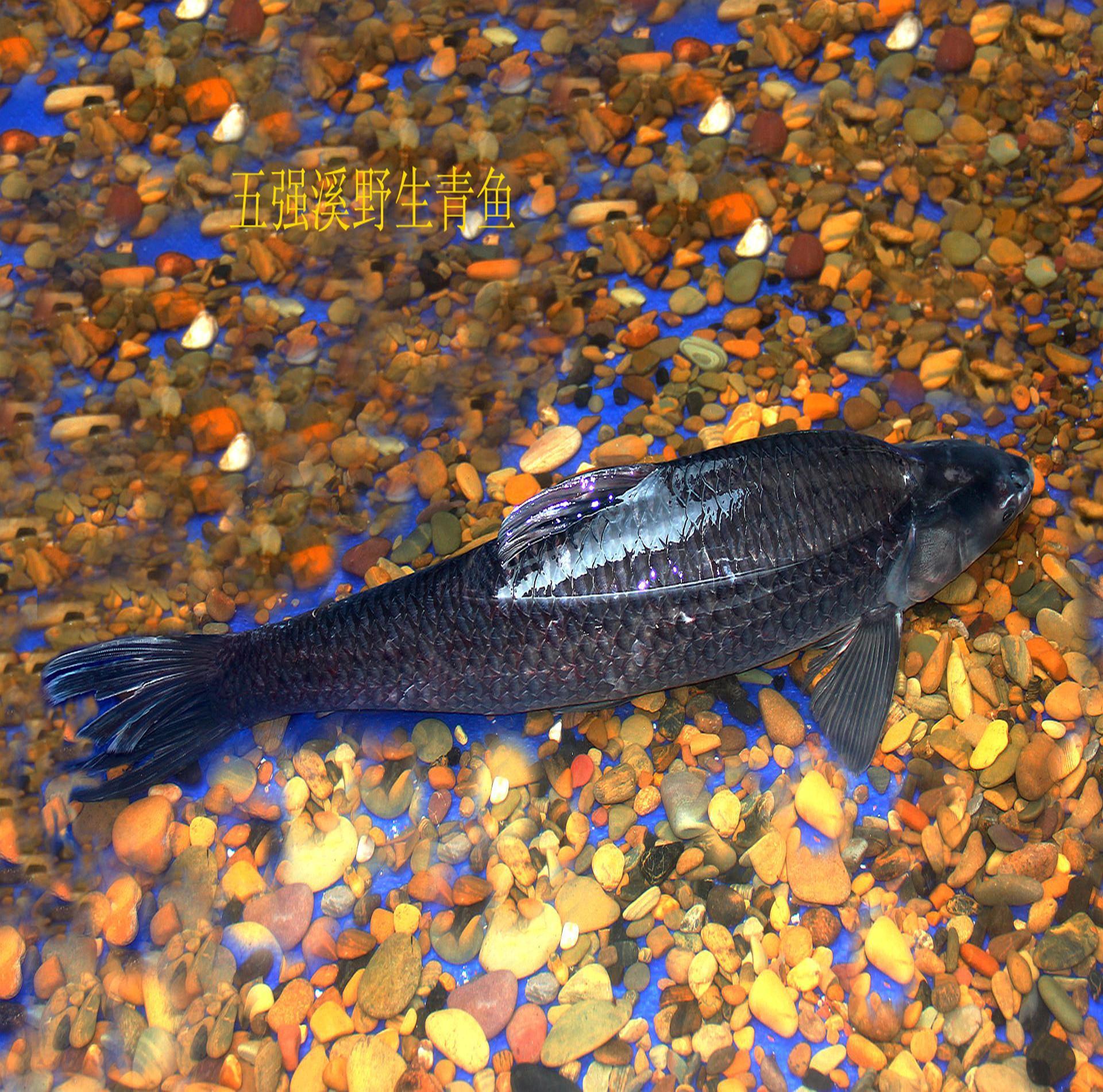 全部版本 最新版本  五强溪鱼因其生长的风景秀丽,环境优美的五强溪库