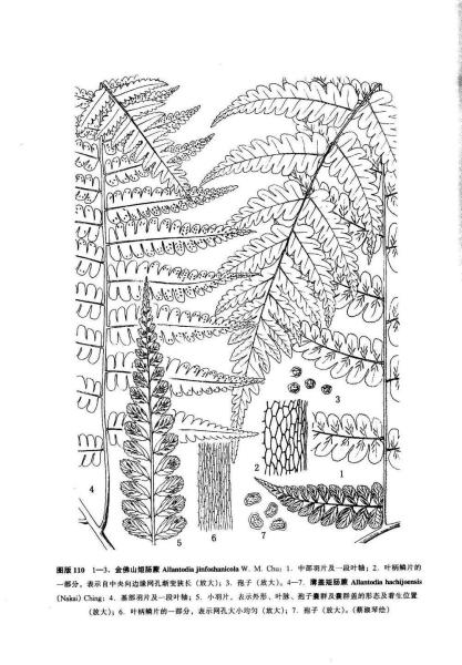 手绘蕨叶横切