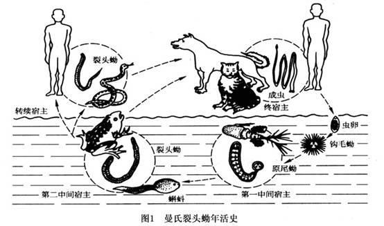 此种蚴虫寄居于蛙,蛇等动物的肌肉及皮下组织内,含有此种蚴虫的未曾