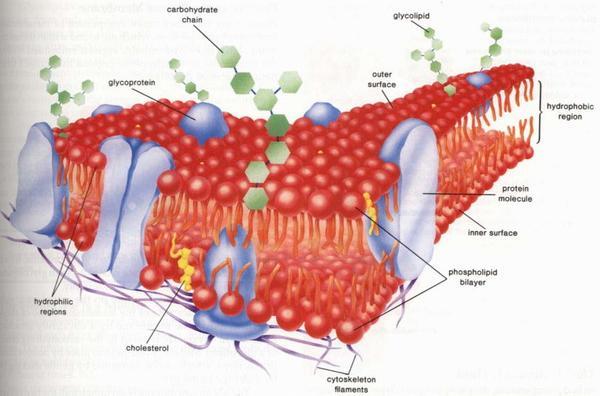 """是生命物质外面出现了一层膜性结构,即""""细胞膜""""."""