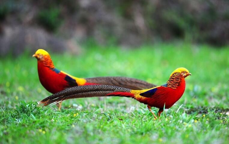 锦鸡(国家二级保护动物) - 搜狗百科