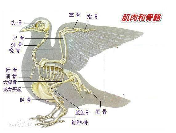 全部版本 历史版本  鸟类的结构从解剖学和生理学上分类,涉及到鸟类的