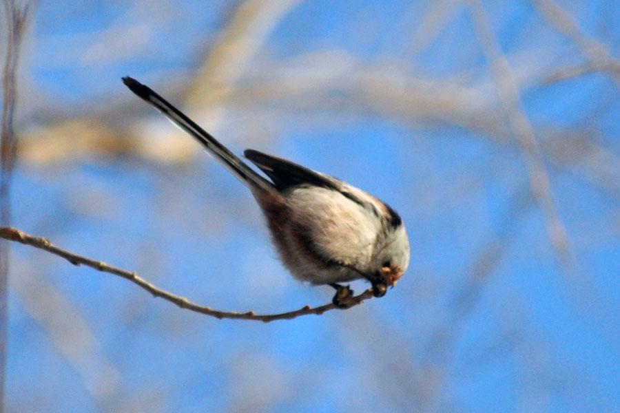 银脸长尾山雀木雕白鹭图片图片