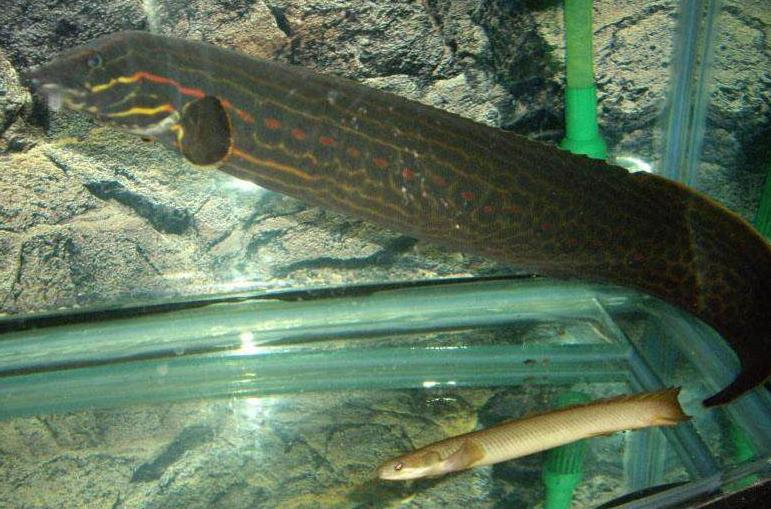 红纹刺鳅图片