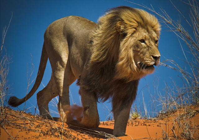 拥有120余只的非洲狮八达岭野生动物园,会让人珍视感受到来自非洲草原