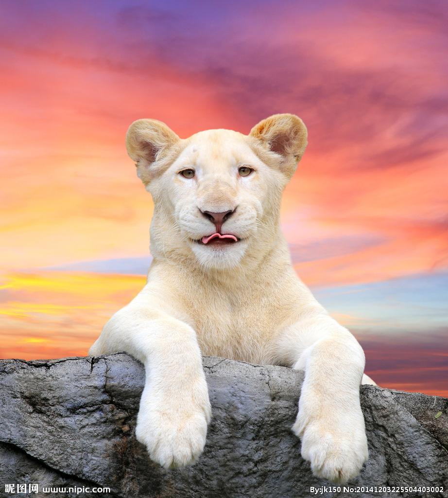 一只白狮在南非野生动物保护区中被偶然发现,这是狮子中格鲁吉亚亚种