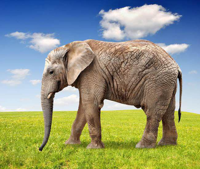 象(哺乳类动物--大象)
