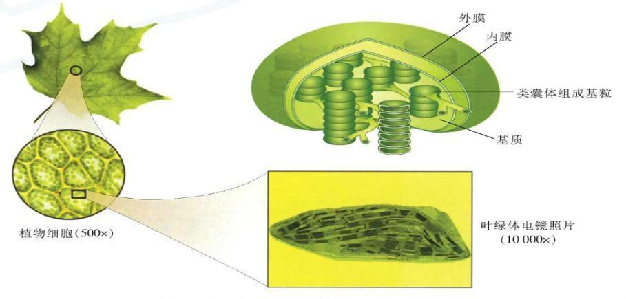 叶绿体结构示意图