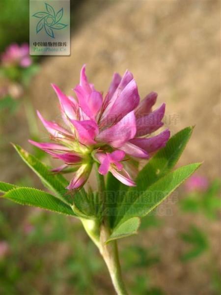 7月中旬开花,8月花初期刈割,草高可达50余厘米.