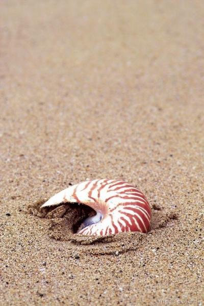 海螺(海螺属软体动物腹足类) - 搜狗百科
