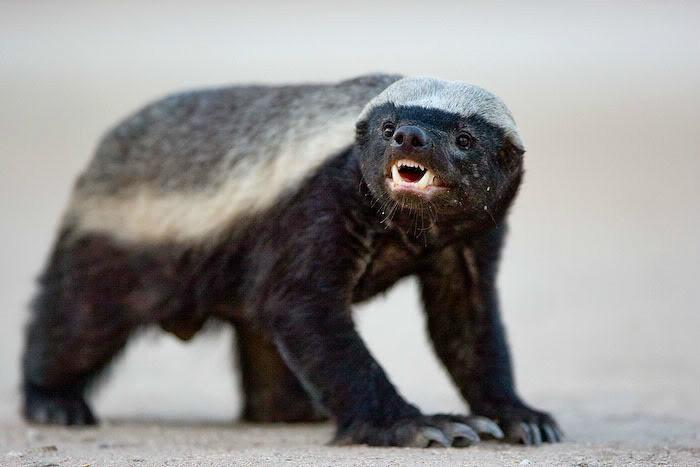 除蜂蜜外,蜜獾也食其它昆虫,爬行动物和小哺乳动物.