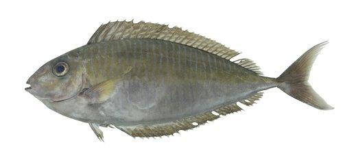鼻子上有刺的鱼-拟鲔鼻鱼