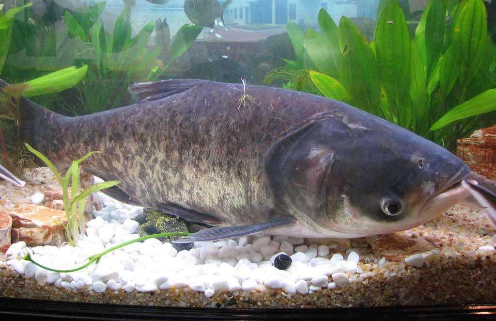 滤食性,主要吃轮虫,枝角类,桡足类(如剑水蚤)等浮游动物,也吃部分