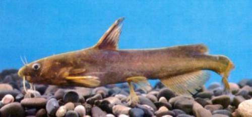 ??_鮠魚
