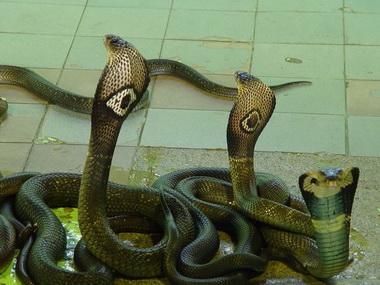 金刚王眼镜蛇 搜狗百科高清图片