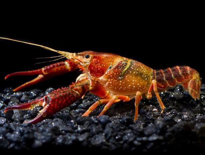 小龙虾(甲壳纲螯虾科水生动物) - 搜狗百科