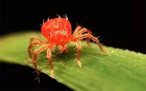 红蜘蛛(蛛形纲叶螨科动物) - 搜狗百科
