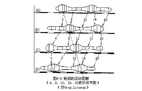 秉氏环毛蚓(蚯蚓)内部结构图