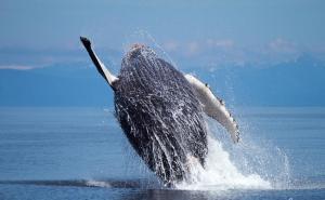 座头鲸外形特征