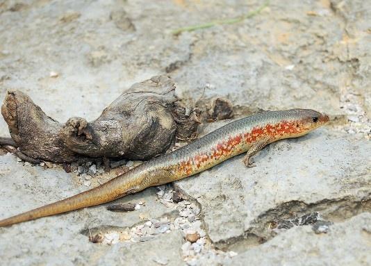 四脚蛇(鬣蜥科龙蜥属爬行动物) - 搜狗百科