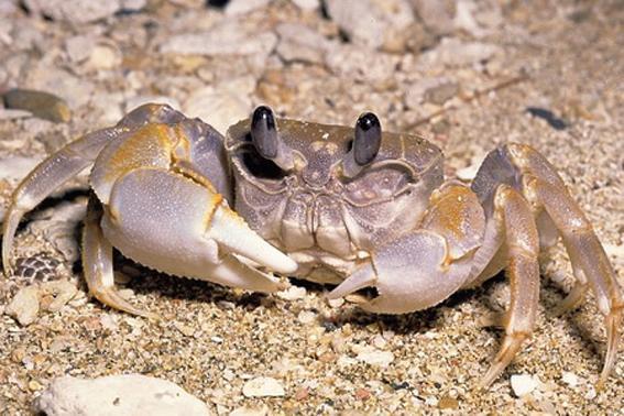螃蟹(甲壳类动物)