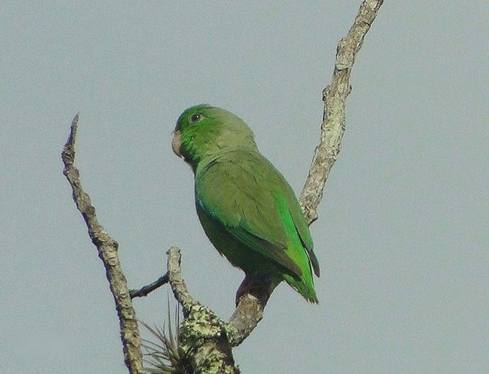绿腰鹦哥委内瑞拉亚种
