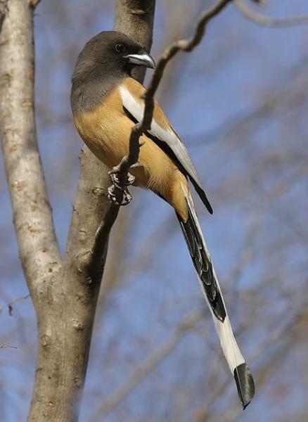 栖于小树顶层,如杜鹃般猎捕昆虫,巢中幼虫及小型脊椎动物为食.