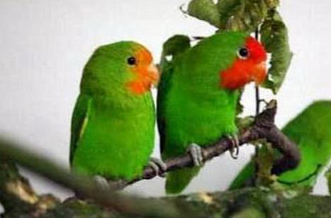 与鸟��h�_红脸情侣鹦鹉-搜狗百科