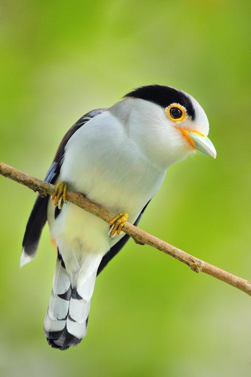 与鸟��h�_马来银胸丝冠鸟-搜狗百科