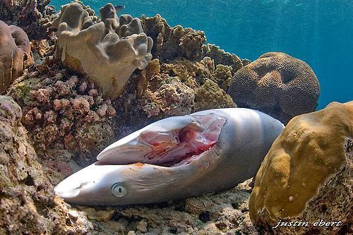 鲨鱼 鱼翅图片_鲨鱼(软骨鱼纲动物) - 搜狗百科