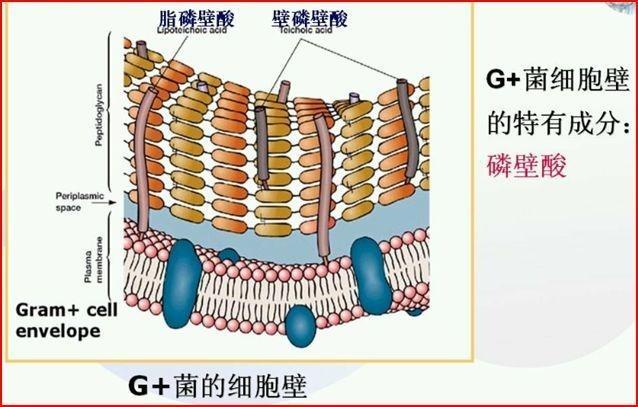 細胞壁 主 成分