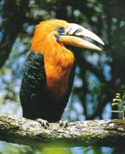 西双版纳犀鸟
