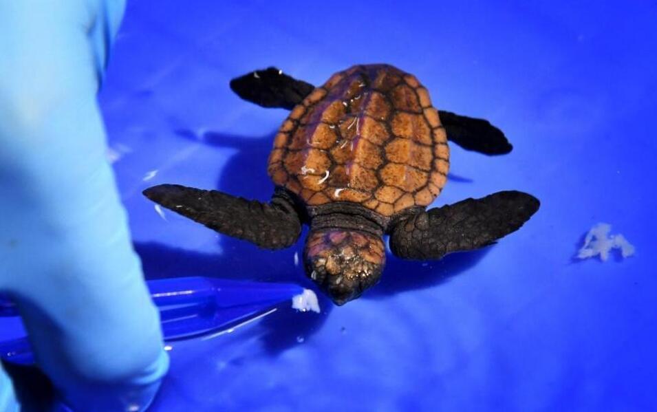 國家保護動物蠵龜在青島首次人工孵化成功
